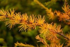 tamarack американской лиственницы Стоковые Фотографии RF