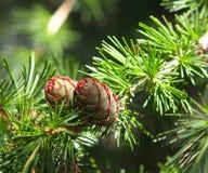 Tamarack или конусы лиственницы Стоковая Фотография RF