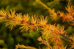 Tamarack or American Larch. Beautiful yellow needles on an American Larch Royalty Free Stock Photos