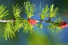 Free Tamarack Needles And Fruits 701009 Royalty Free Stock Image - 192130036