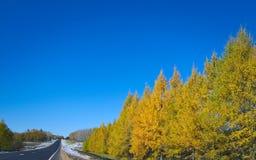 Tamarack träd i nedgången som vänder från gräsplan för att gulna, med blå himmel arkivbild