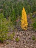 Tamarack Tree Royaltyfria Foton