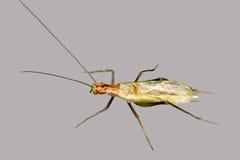 Tamarack Tree Cricket - endangered Royalty Free Stock Images