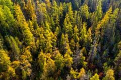 Tamarack-Wald im Herbst von der hohen Winkelsicht stockfoto