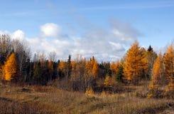 Tamaracks покрашенные осенью Стоковые Изображения RF