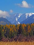 Tamaracks and Swan Peak. This image of the snowcapped mountains, tamracks in their goldern colors and the marsh weeds was taken in western MT Stock Images