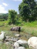 Tamaraw deaktywacja w rzece na Mindoro, Filipiny fotografia stock