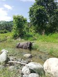 Tamaraw het koelen in een rivier op Mindoro, Filippijnen stock fotografie