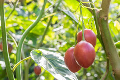 Tamarillo fruit. On the tree Royalty Free Stock Image