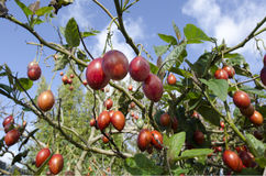 Tamarillo Fruit Tree. Tamarillo tree with fresh fruits growing in the garden Stock Photography