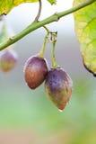 Tamarillo owoc Zdjęcia Stock