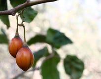 Tamarillo (tree tomato) Stock Photos