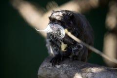 tamarin обезьяны императора Стоковое Изображение