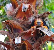 Tamarin Royalty Free Stock Photography
