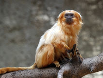 Tamarin Royalty Free Stock Images