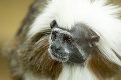Tamarin-Affe-Nahaufnahme Stockfotos