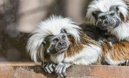 Tamarin au dessus du coton - Saguinus Oedipe photographie stock libre de droits