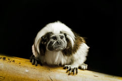 Tamarin Baby Stock Photos