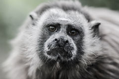 tamarin Blanco-con base imagen de archivo libre de regalías