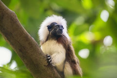 Tamarin cotton top monkey sitting in a tree Royalty Free Stock Image