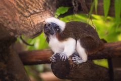 Tamarin cotton top monkey sitting in a tree. Royalty Free Stock Photography