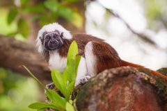Tamarin cotton top monkey sitting in a tree. Stock Photo