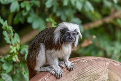 Tamarin Stock Photo