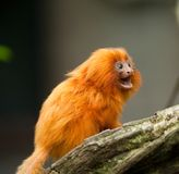 Tamarin d'or de lion Image stock
