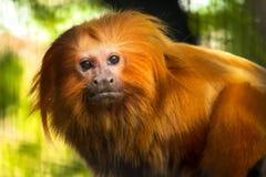 Tamarin d'or de lion Images libres de droits