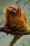 Tamarin d'or de lion Photographie stock