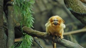 Tamarin d'or de lion Il s'assied sur une branche d'arbre banque de vidéos