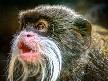 Tamarin d'empereur photo stock