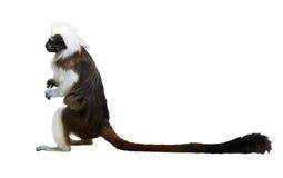 Tamarin da Algodão-Parte superior Fotografia de Stock Royalty Free
