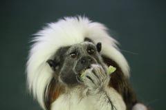 Tamarin de Cottontop Fotos de archivo libres de regalías
