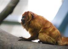 Tamarin de oro del león Foto de archivo