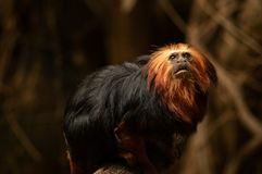tamarin De oro-dirigido del león en el parque zoológico de Londres imagen de archivo libre de regalías