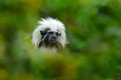 tamarin del Algodón-top, RÃo Cauca, Colombia Pequeño mokley ocultado en el animal tropical verde del bosque de selva en Suraméric fotos de archivo