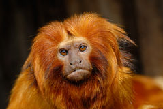 Tamarin del leone immagini stock libere da diritti