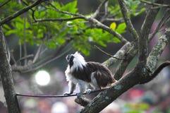 Tamarin della Coton-parte superiore immagini stock libere da diritti