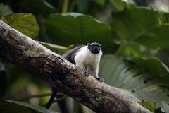 Tamarin desencapado-enfrentado Pied, bicolores bicolores de Saguinis, Foto de Stock