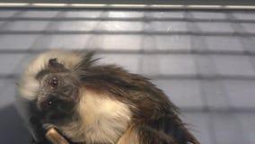 Tamarin di Edipo della scimmia video d archivio