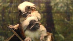 Tamarin di Edipo della scimmia stock footage