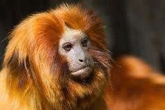 Tamarin dorato del leone Fotografie Stock Libere da Diritti