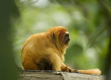 Tamarin dorato del leone nel proposito Fotografia Stock
