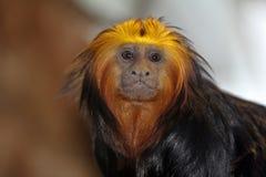 tamarin Dourado-dirigido do leão Fotografia de Stock Royalty Free