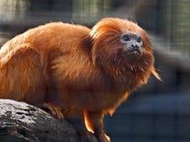 Tamarin dourado do leão Fotografia de Stock Royalty Free