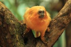 Tamarin dourado do leão Fotos de Stock