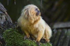 Tamarin dourado do leão Foto de Stock Royalty Free