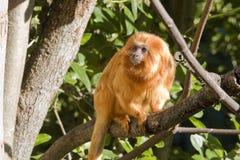 Tamarin dourado do leão Fotografia de Stock