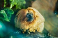 Tamarin dourado que senta-se em um ramo de madeira entre as árvores no parque zoológico foto de stock